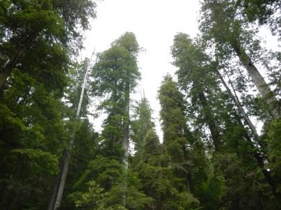 Coastal Redwoods Stout Grove 3