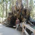 Giant Redwood Fallen Over at  Sequoia and Kings Canyon National Parks