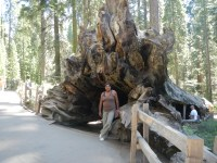 Giant Sequoia National Forest Felled Tree