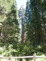 Giant Sequoia National Forest 3