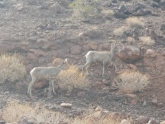 Big Horned Ram - Road Trip from Las Vegas to El Paso