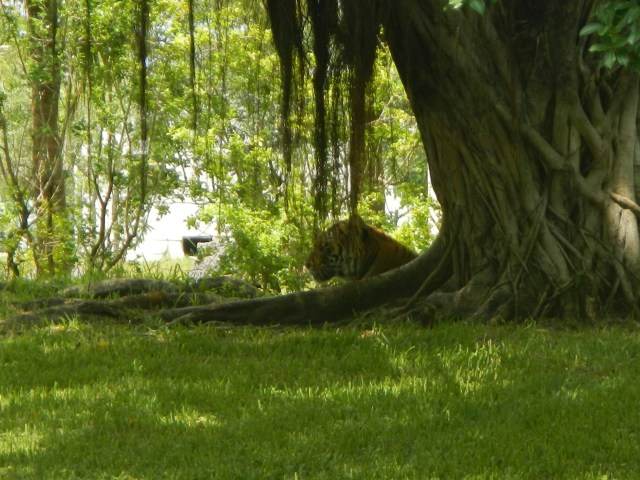 Siberian Tiger in the Shade