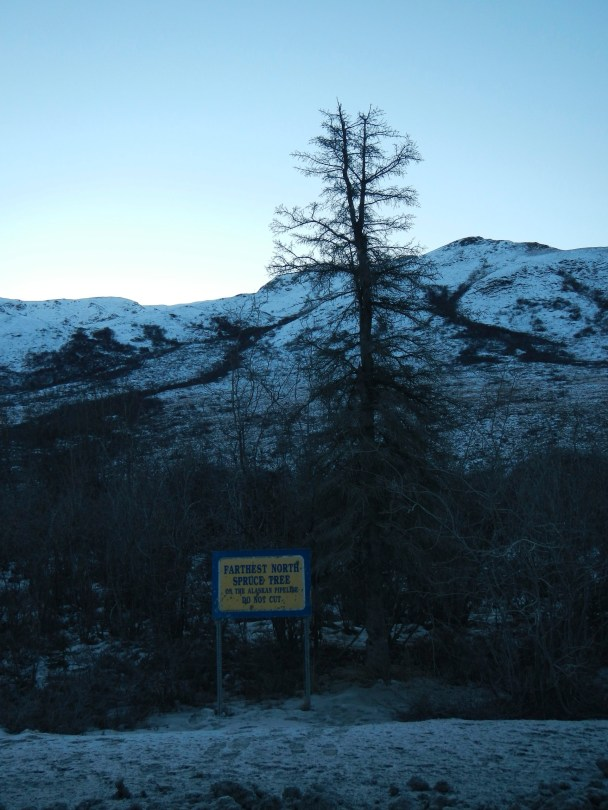Farthest North Spruce Tree