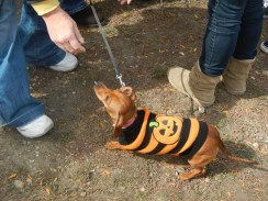 Wiener Dog in a Pumpkin Costume at Scarecrow Fest St. Charles IL 2012