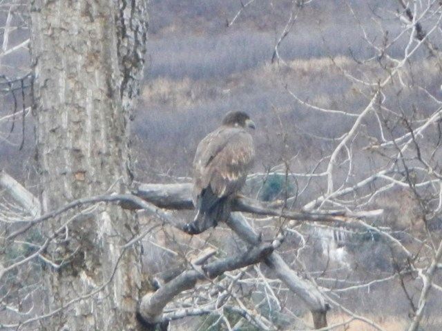 Adolescent bald eagle in Valdez
