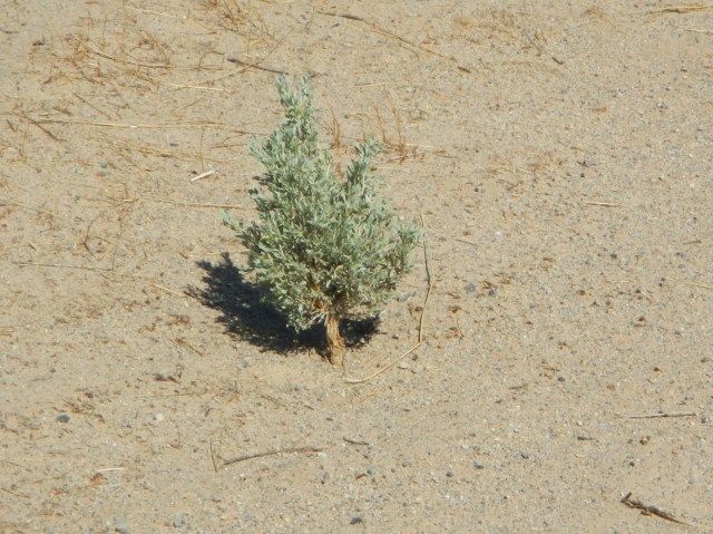 Baby Tree from the Utah Desert