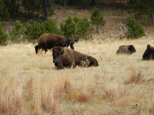 Bison Roaming in Custer Park