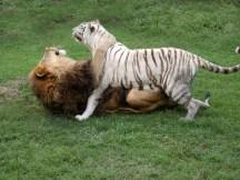 Cam & Zabu - courtesy of Big Cat Rescue