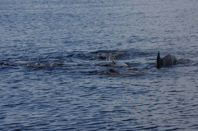 Dolphins Playing in the water as part of the Wild Dolphin Ecotour