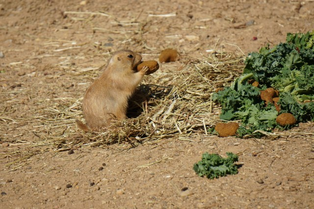 Prairie Dog at the Maryland Zoo