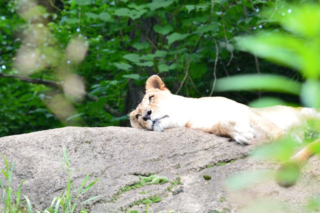 Lazy lioness