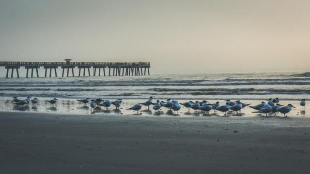 Seagulls on Jacksonville Beach