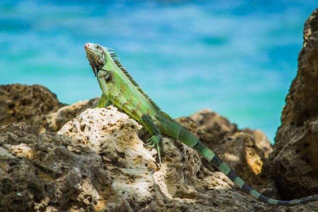 Iguana - 20 Amazing Photos of Wildlife across North America