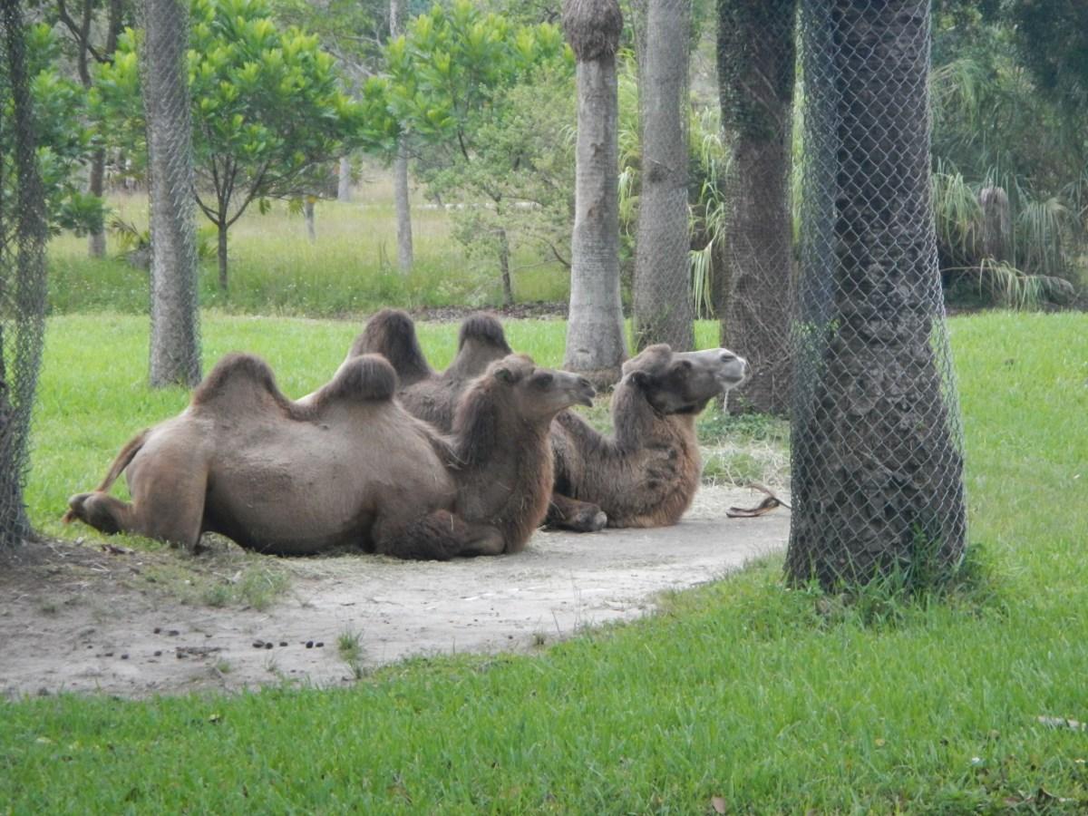 Camels at Zoo Miami