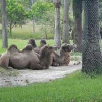 Camels at Zoo Miami