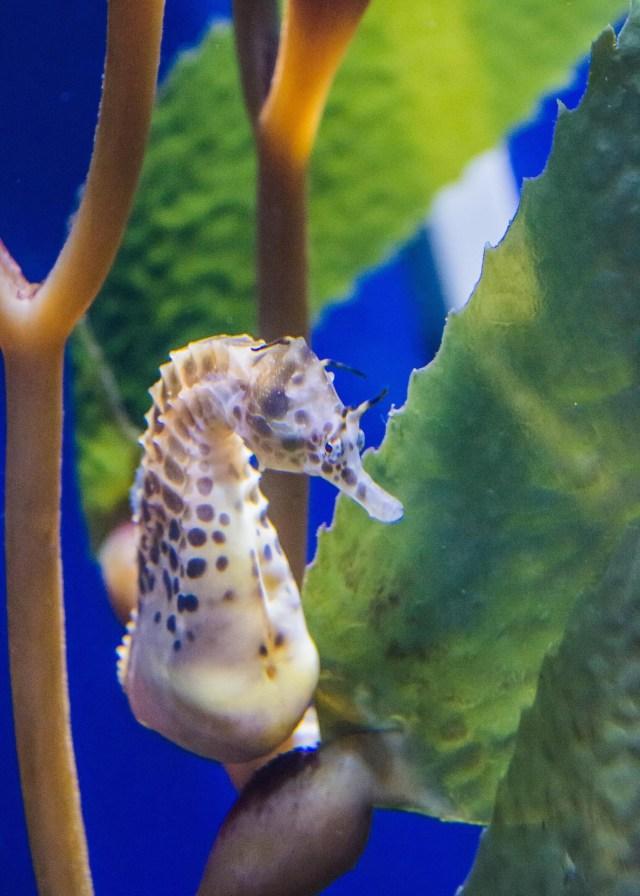 Sea horse at NOLA Aquarium