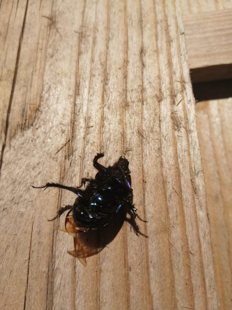 dead scarab