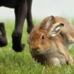 "Police probe reports of child taken to watch ""barbaric"" hare coursing"