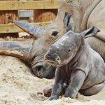 Blair Drummond Safari Park welcomes precious white rhino calf