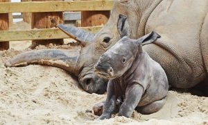 The southern white rhino calf with her mother Dot.