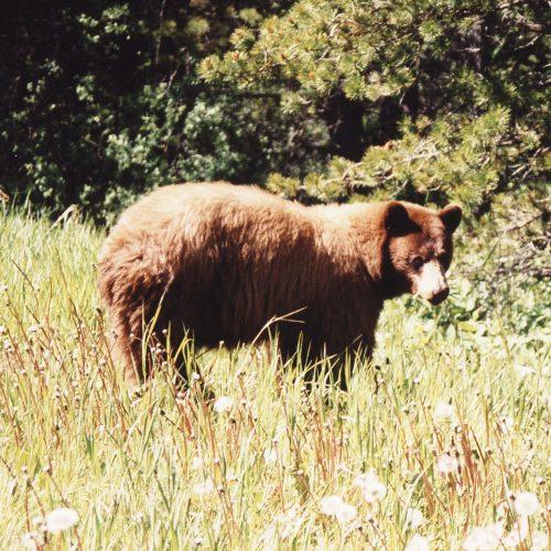 Black Bear in Kananaskis