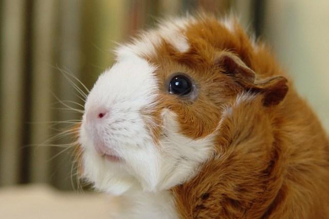 guinea_pig_Story