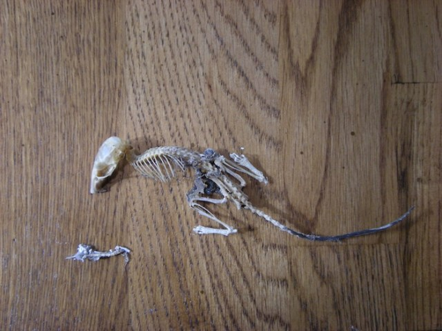 mouse_skeleton