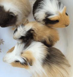 pet guinea pigs [ 800 x 1067 Pixel ]