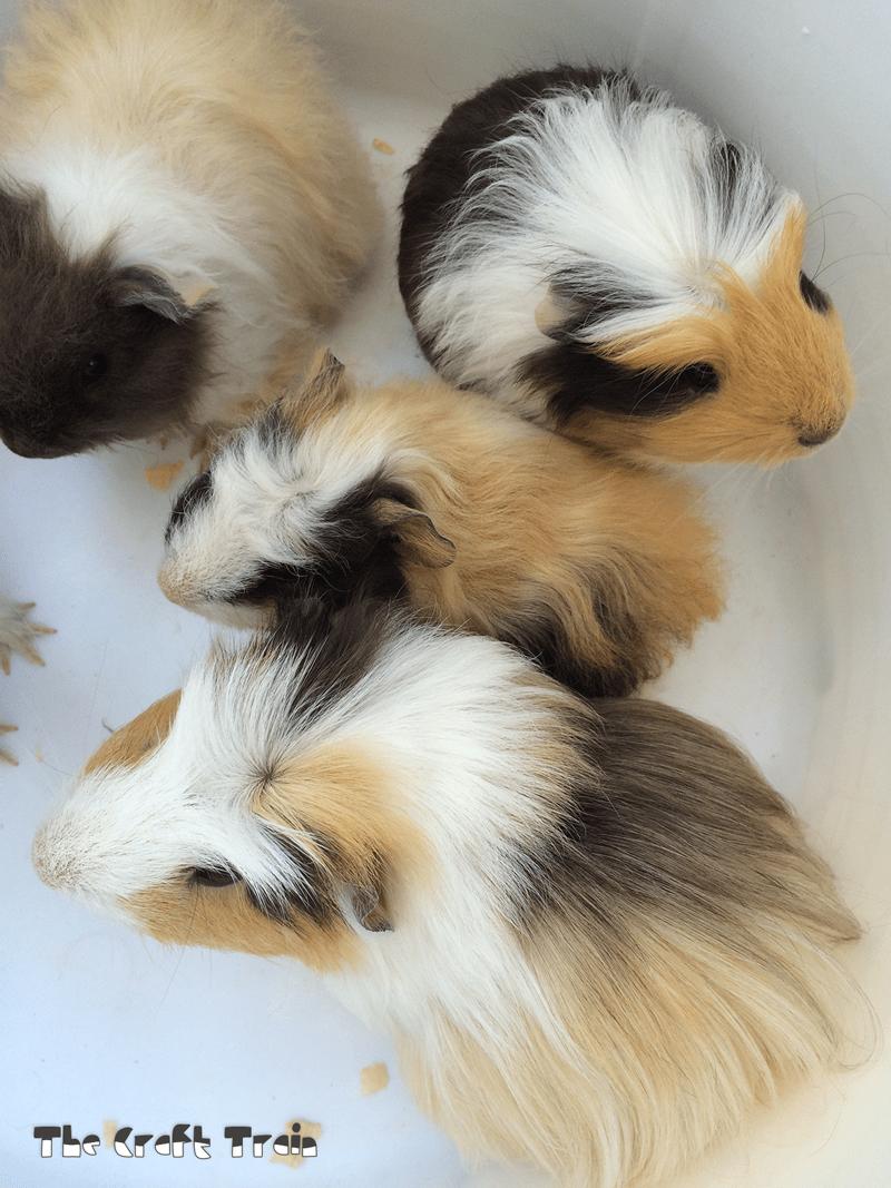 medium resolution of pet guinea pigs