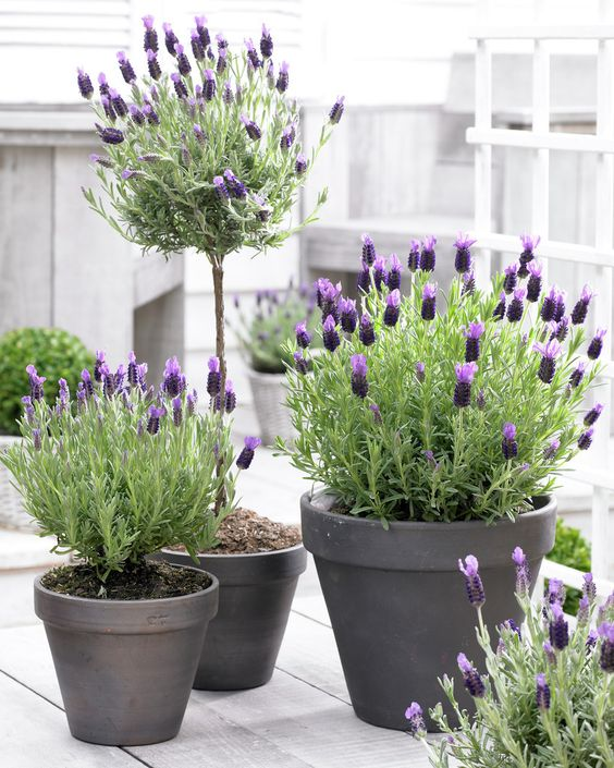Lavender in painted pots.