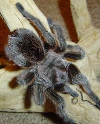 Buster the Tarantula