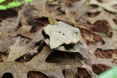 Leaf - Malayan horned frog