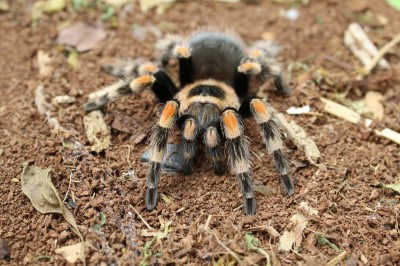 Tangerine - Mexican red-knee tarantula