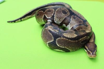 Bullwinkle - ball python