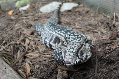 Teddy - black and white Argentine tegu