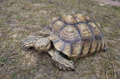 Sheldon - African spur tortoise