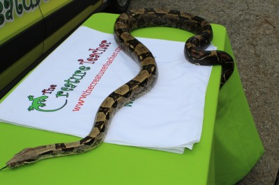 Thor - red tailed boa