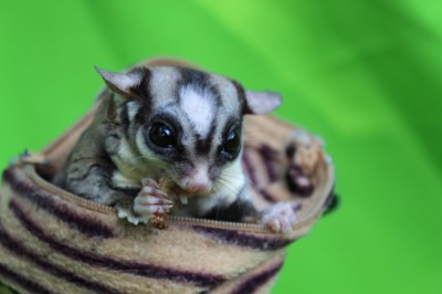 Lillo - sugar glider