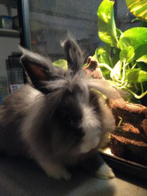 Prince Hairy the Lion Head Bunny