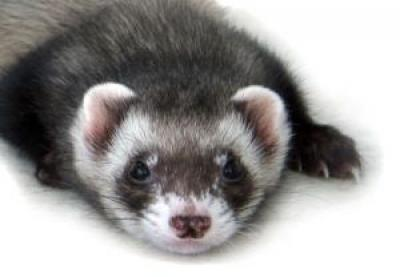 Slinky the Ferret