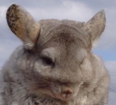 Spice the Chinchilla