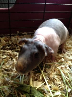 Taffy the Hairless Guinea Pig - rare