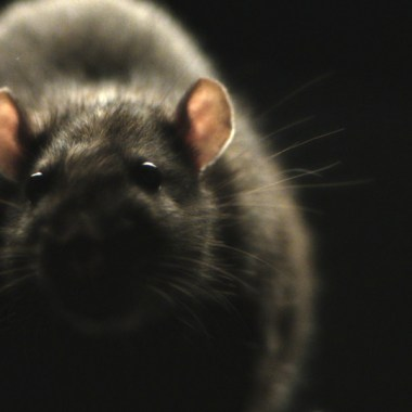 Morgan Spurlock's 'Rats' in Theaters This Weekend, Watch the Terrifying Trailer
