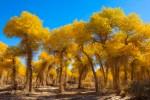 China's Natural Wonders: The Huyang Tree (胡杨树)