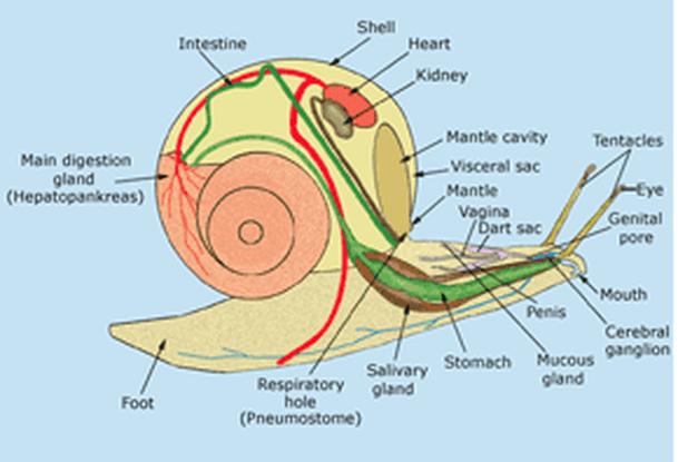 slug anatomy diagram ford f350 wiring diagrams the mighty mollusk daily garden picture