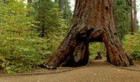 drive through tree in california