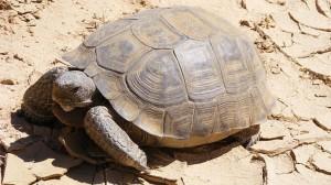 desert-tortoises-euthanize-nevada.si