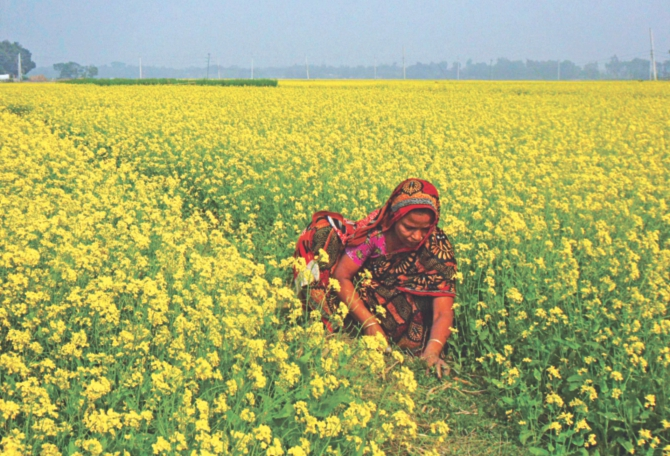 THE YELLOW CARPET: A woman worker removing weeds from a mustard field at Poila village in Tangail Sadar upazila. PHOTO: STAR