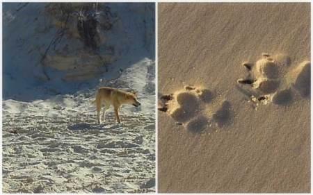 Dingo Printfoot Fraser Island