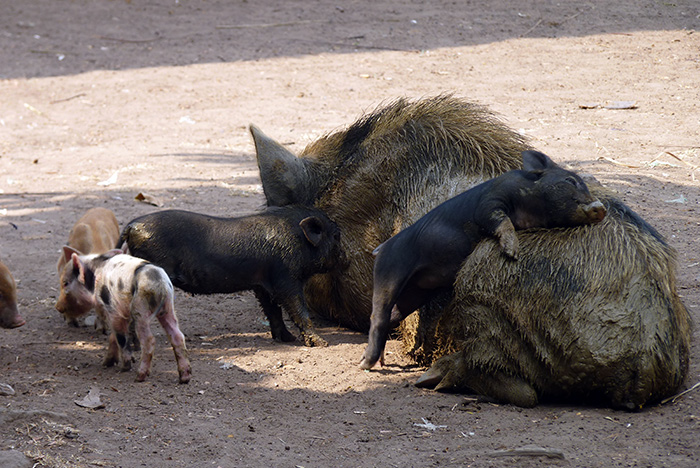 cochon laos